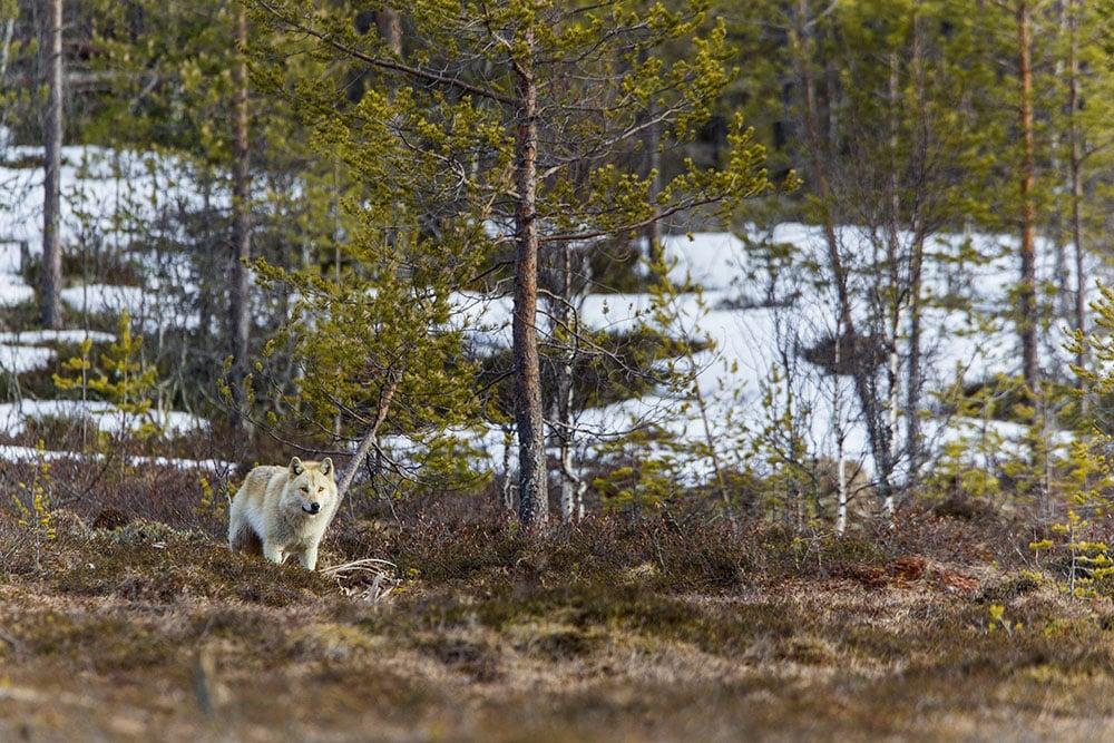 Hur skapas en rovdjursförvaltning där alla känner delaktighet? Den frågan ska tre forskare vid Göteborgs universitet försöka ge svar på i ett treårigt forskningsprojekt. Foto: Kjell-Erik Moseid
