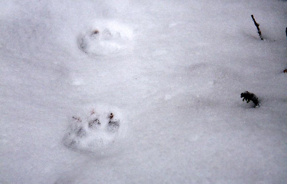 Förutom en familjegrupp bestående av hona med två ungar hittades spår efter ensamma lodjur under inventeringen. Arkivbild: Olle Olsson