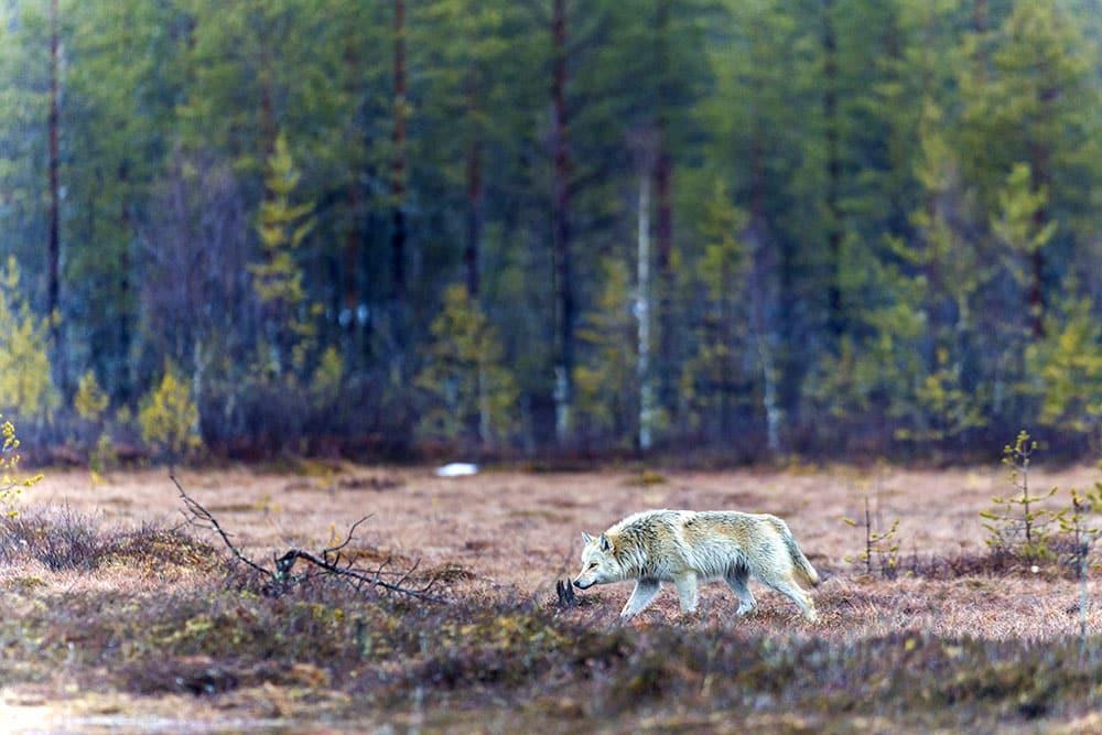 Finsk varg fotograferad i Viiksimo, Kuhmo, nära den ryska gränsen. Foto: Kjell-Erik Moseid