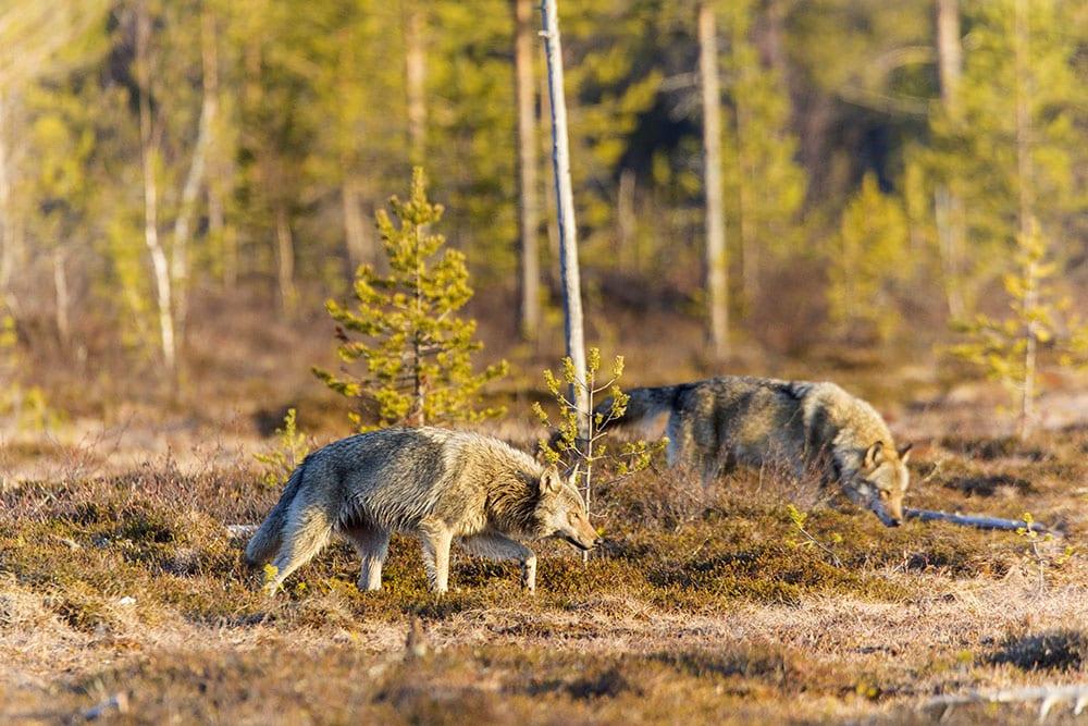 Vargjakten i Finland får pågå i tre veckor. Foto: Kjell-Erik Moseid