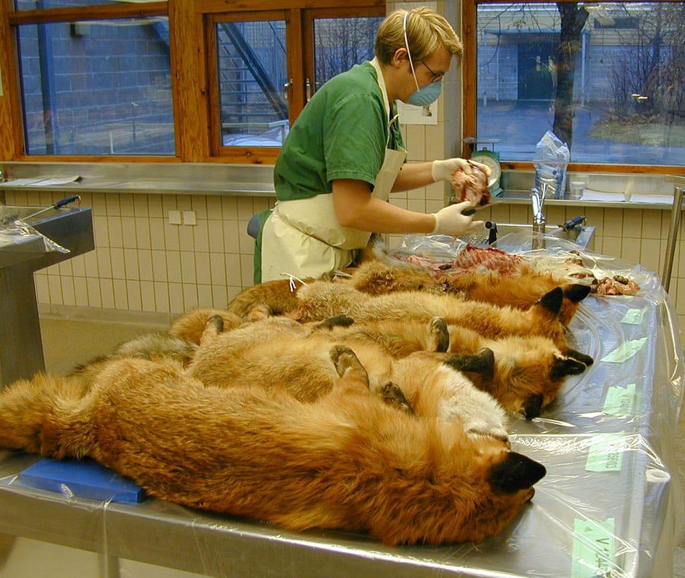 Nedan: SVA-personal tar hand om insända rävar. Foto: Erik Ågren/SVA