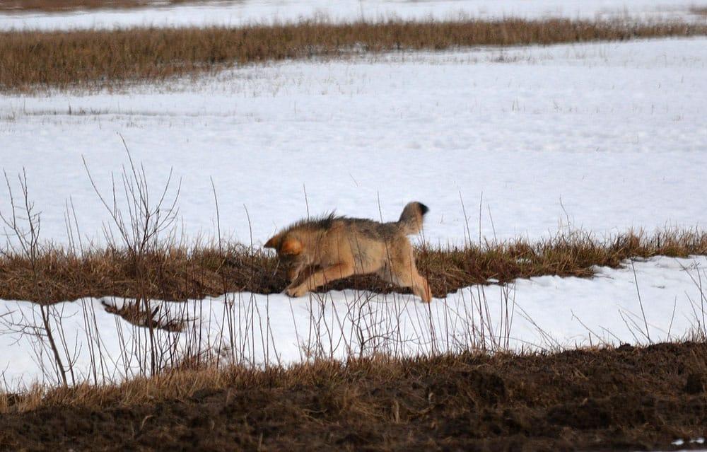 En av vargarna i reviret när den jagade sork i byn Ulvsta i slutet av februari. Foto: Johnny Olsson