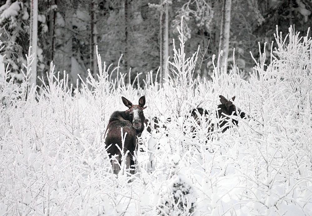 I Blekinge har det uppstått en märklig situation. Naturskyddsföreningen vill skjuta fler älgar och ställer sig på markägarnas sida. Foto: Lars-Henrik Andersson