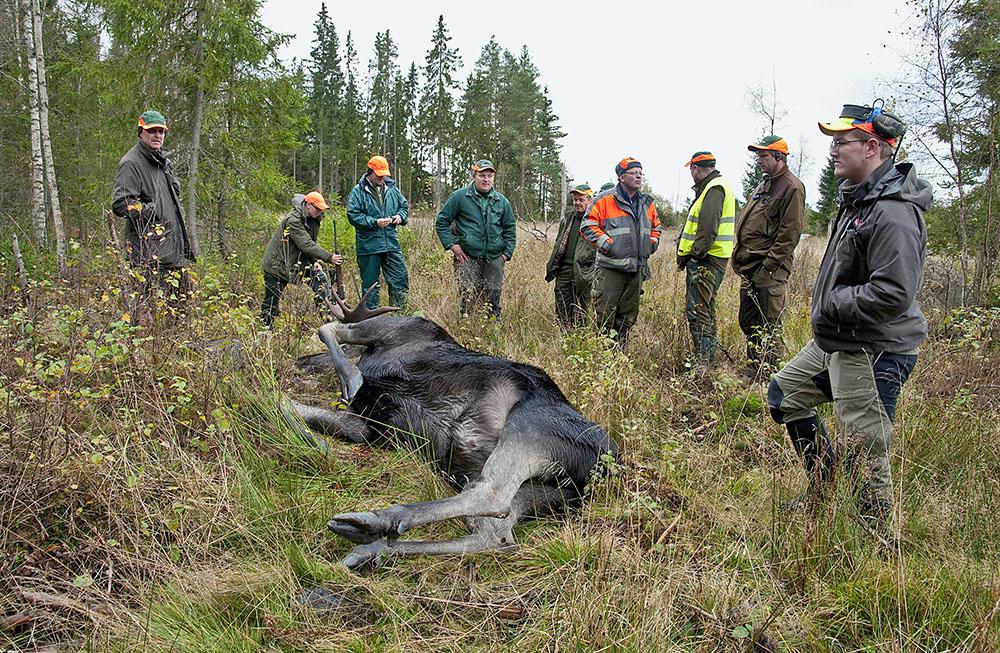 Tidigare har det varit ett uppehåll i älgjakten under två veckor i slutet av september och början av oktober i Norrbotten. Foto: Jan Henricson