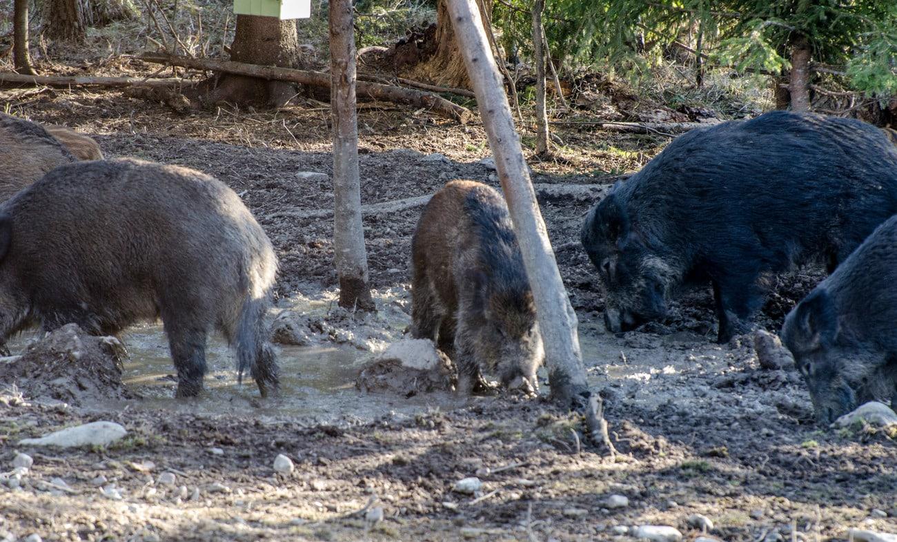 Vildsvin bökar upp åkrar i Hässleholms kommun. Nu har miljöchefen fått nog och vill ha stopp för all utfodring. Foto: Martin Källberg