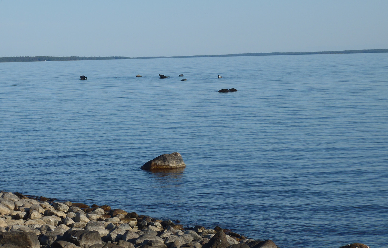 Vikarna ökar snabbt i antal längs kusterna i Norrbotten och Västerbotten. Foto: Niklas Lundberg