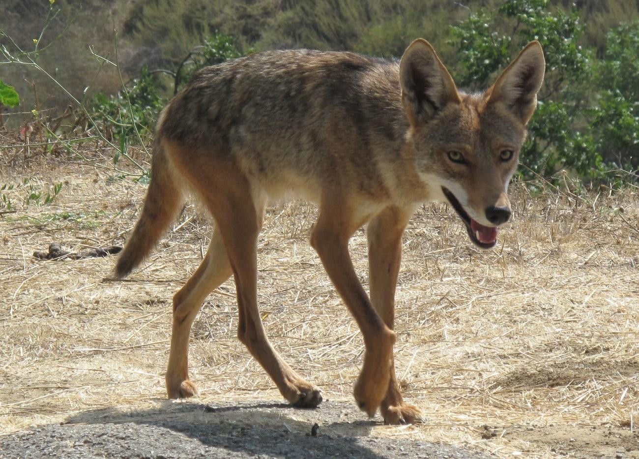 Prärievarg eller coyote omfattas inte av förbundet mot handeln med skyddade arter. Men marknadsförs skinnet som varg kommer saken i ett annat läge. Foto: Coyote Beverley Hills CA by jczart – Hollywood's lonliest