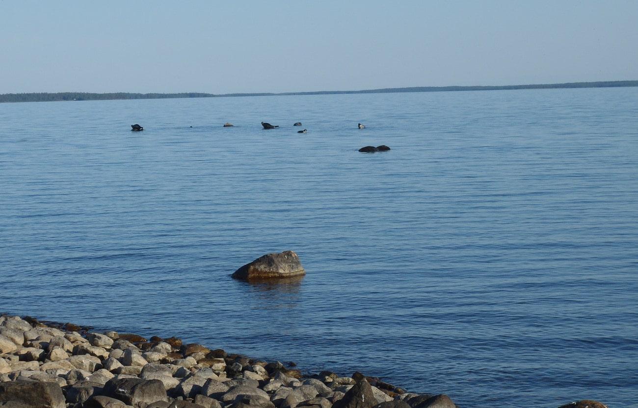 Vikarsälarna blir allt fler i den norrbottniska skärgården. Foto: Niklas Lundberg