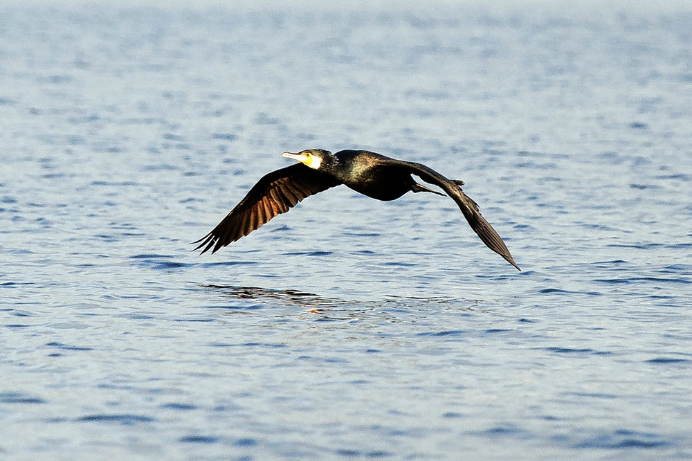 Skarven har större påverkan på fisket än sportfisket och yrkesfisket sammantaget. Foto: Mattias Lilja