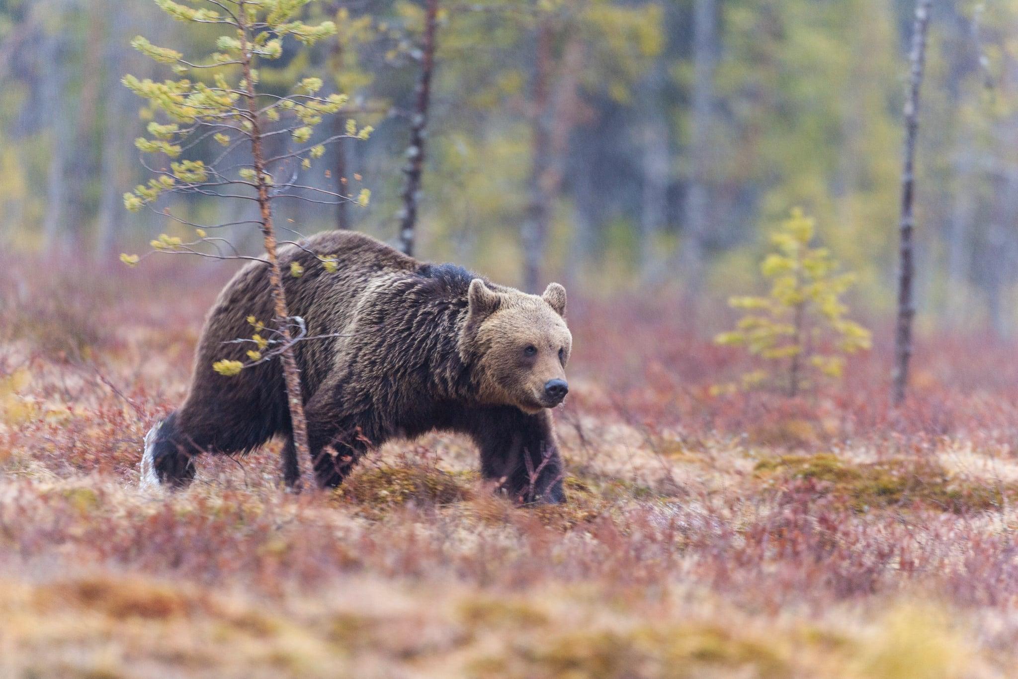 När björnstammen inventerades genom dna-analyser av spillning i Jämtland 2006 uppskattades den uppgå till mellan 700 och 1.000 djur. Foto: Kjell-Erik Moseid