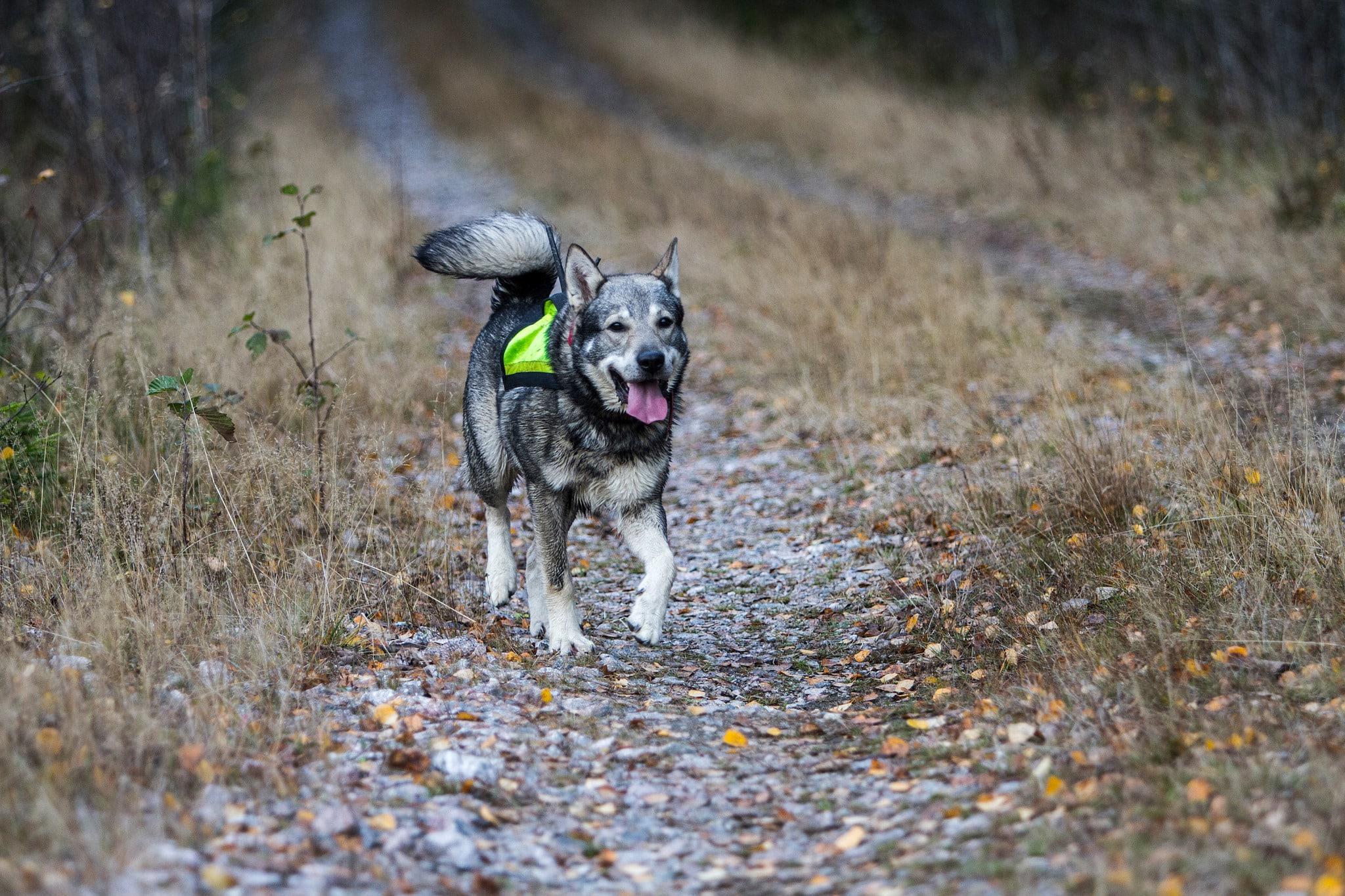 I en motion till Miljöpartiets kongress föreslås att löshundsjakt i vargmarker ska förbjudas och att skyddsjakt på varg inte ska tillåtas om vargen attackerat en löst springande hund. Foto: Olle Olsson