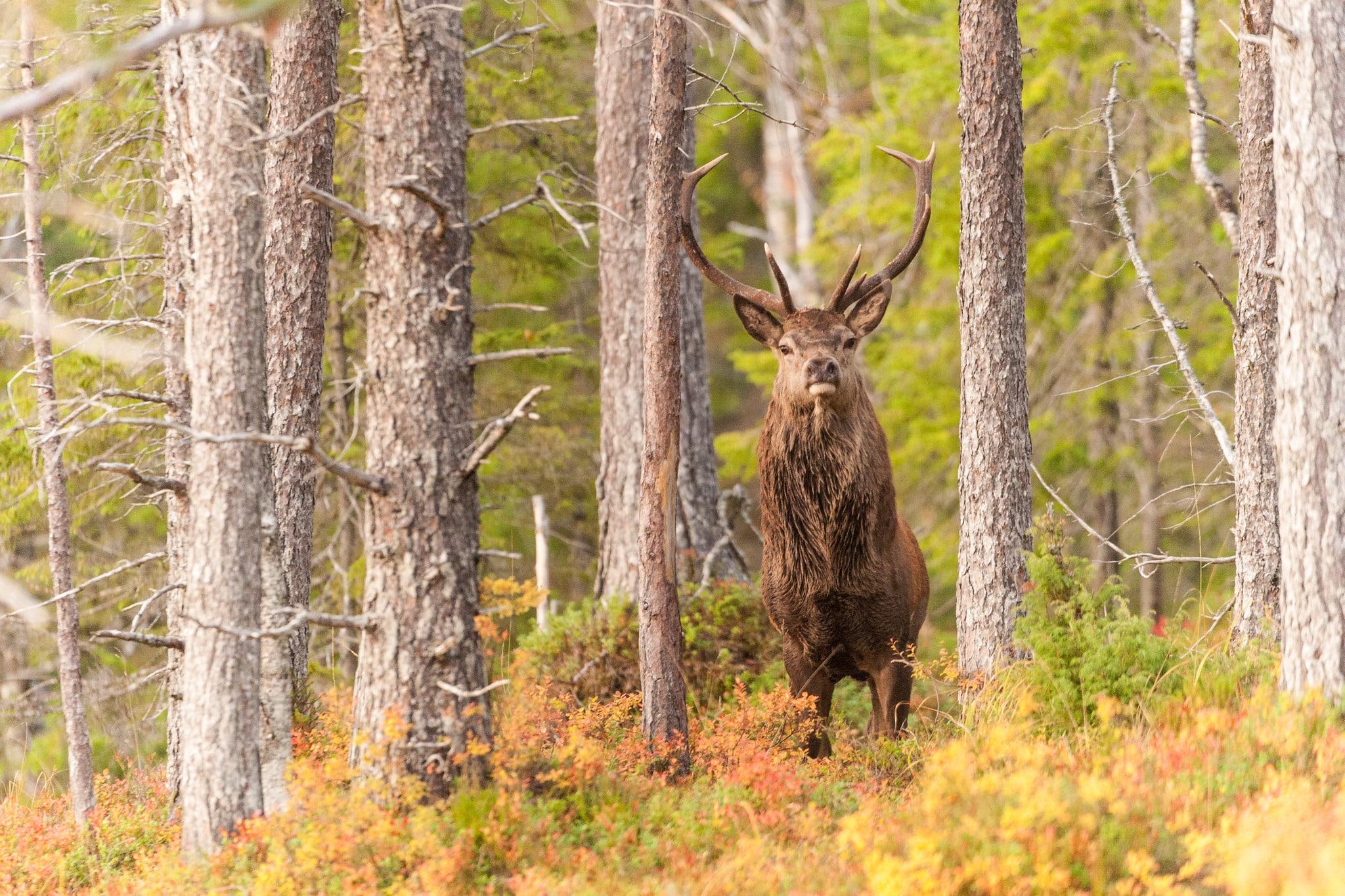 Kronviltet måste förvaltas bättre och kunskapen om arten måste öka, ansåg flera av dem som deltog på ett seminarium om kronviltet på Öster Malma. Foto: Kjell Erik Moseid