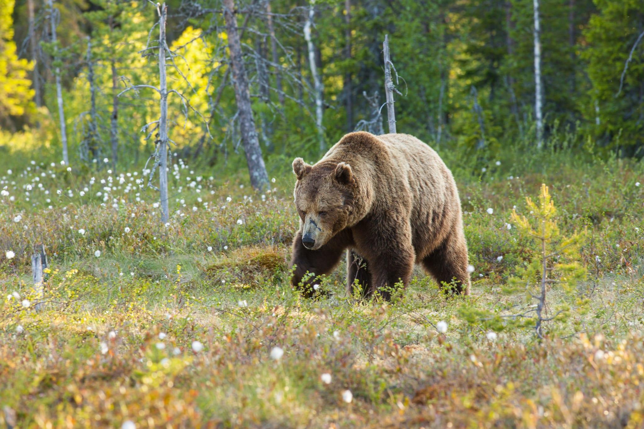 Björnjakten i Norrbotten minskar. Länsstyrelsen hävdar att björnstammen minskar snabbare än i övriga Sverige och halverar tilldelningen jämfört med tidigare år. Foto: Kjell-Erik Moseid
