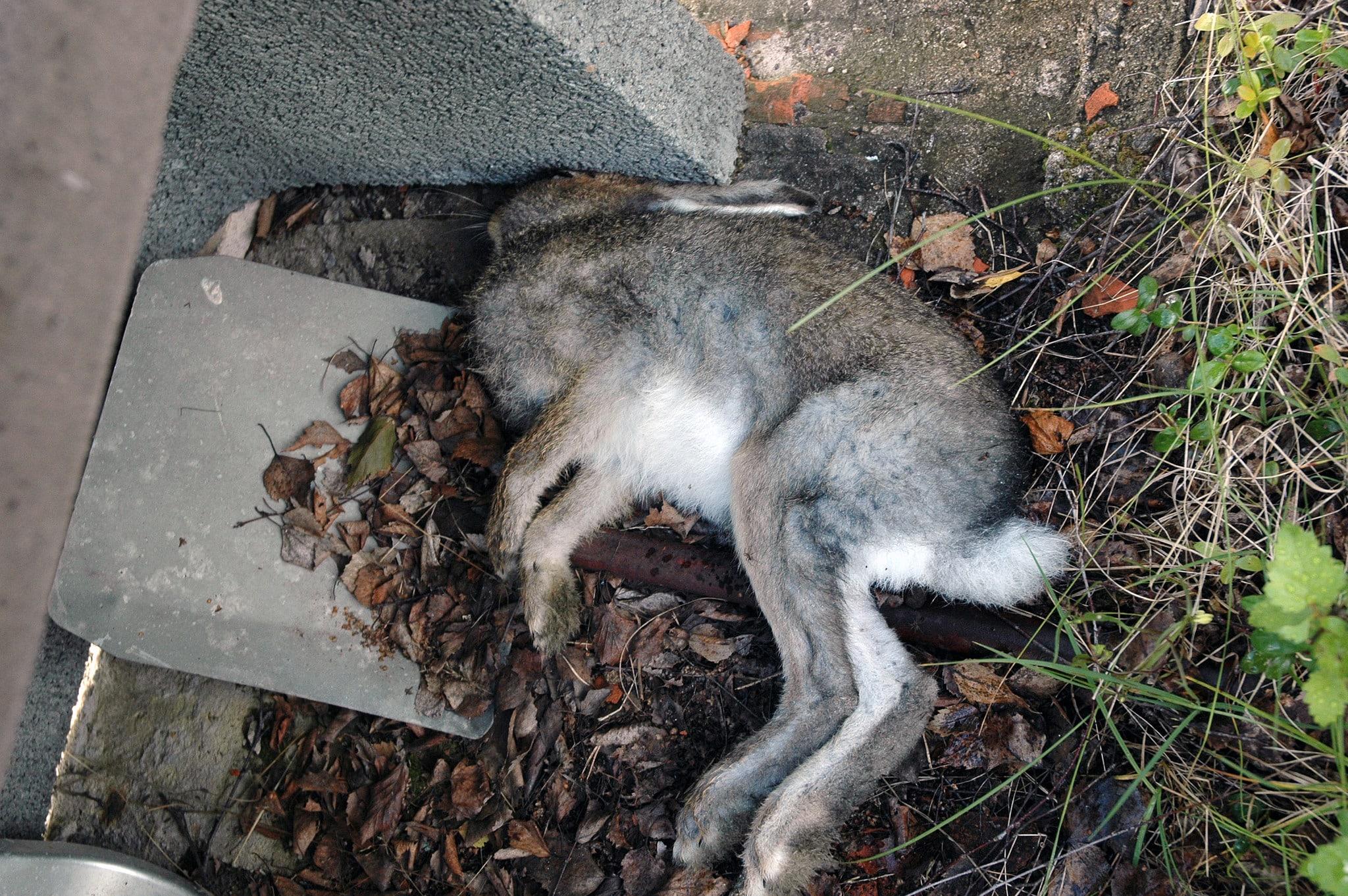 Den här skogsharen hittades död i en jägarens trädgård i Sören, Norrbottens kustland. Förmodligen är dödsorsaken tularemi. Haren har skickats till SVA för analys. Foto: Niklas Lundberg