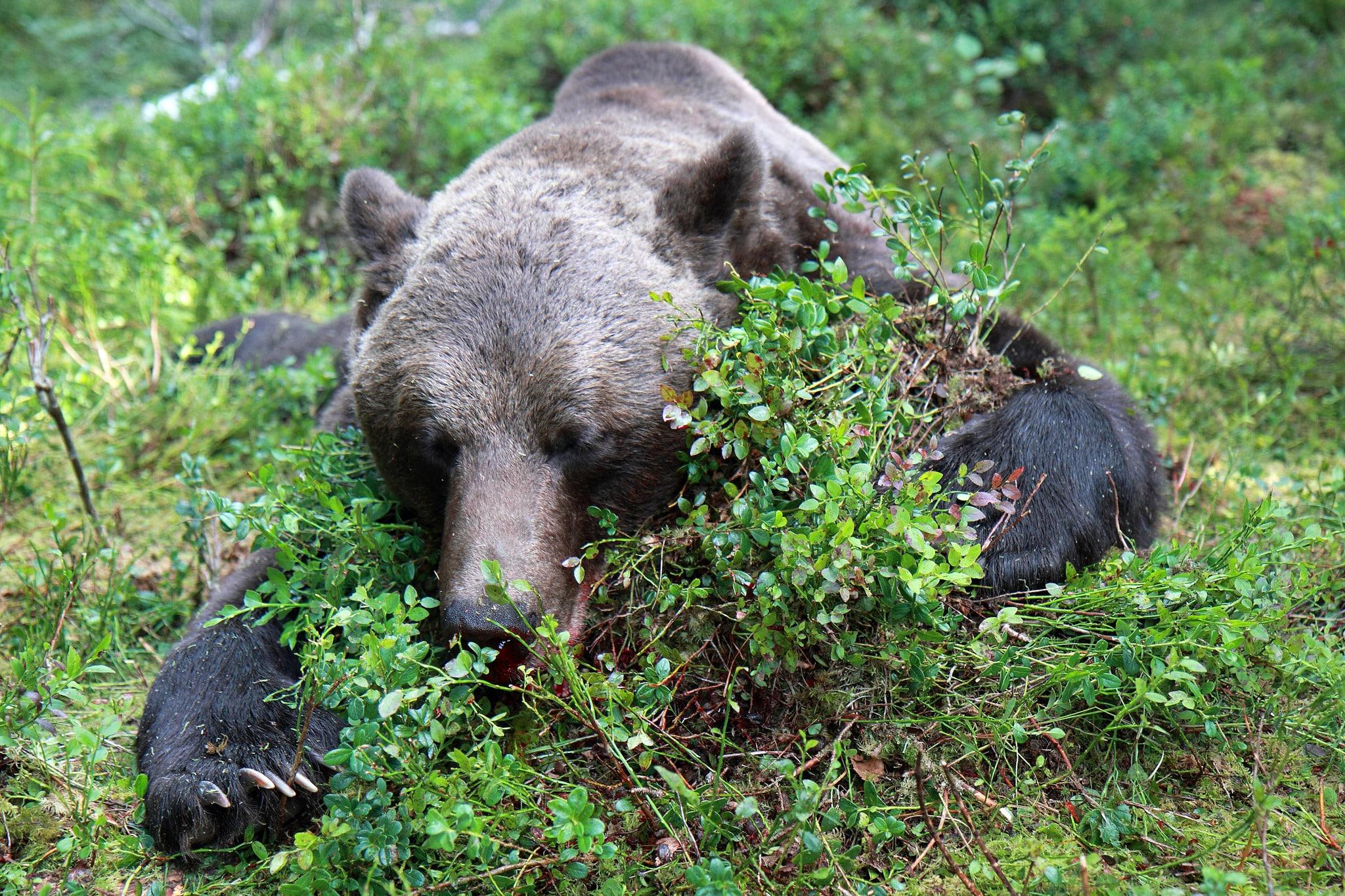 På fredag den 21 augusti börjar björnjakten. Du kan följa den på SVA:s webbplats. Foto: Olle Olsson