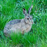Inte bara kaniner kan smittas av det nya gulsotsviruset. Det orsakar också sjukdom hos vissa hararter i södra Europa. Foto: Martin Källberg