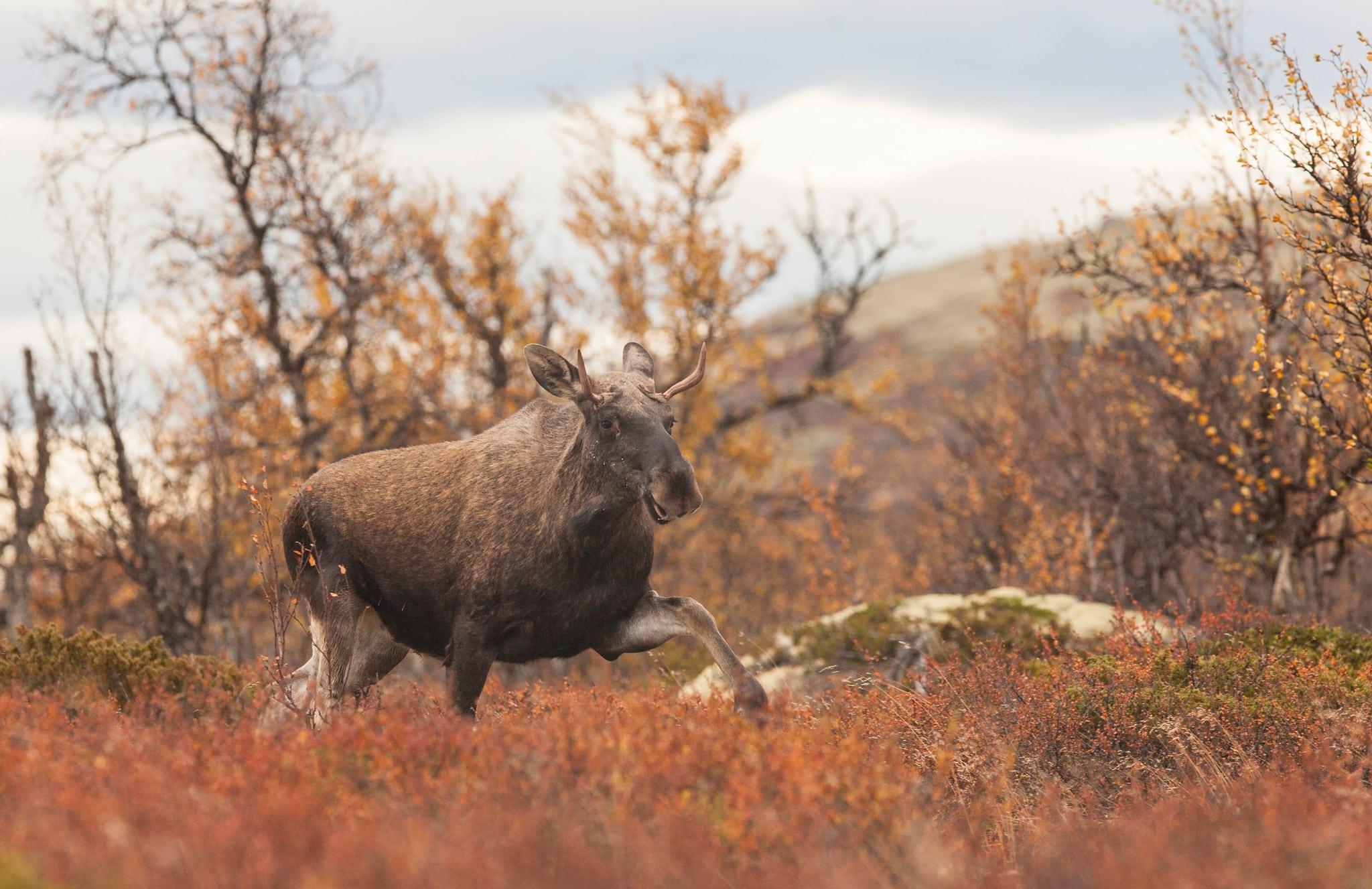 De överklagade jakträttsbesluten ska förhoppningsvis vara avgjorda innan älgjakten startar i norr. Foto: Kjell-Erik Moseid