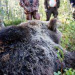 Björnjakten i Västerbotten är över. I lördags morse fälldes två björnar i snabb följd vilket resulterade i en överskjutning av årets tilldelning med en björn. Foto: Olle Olsson