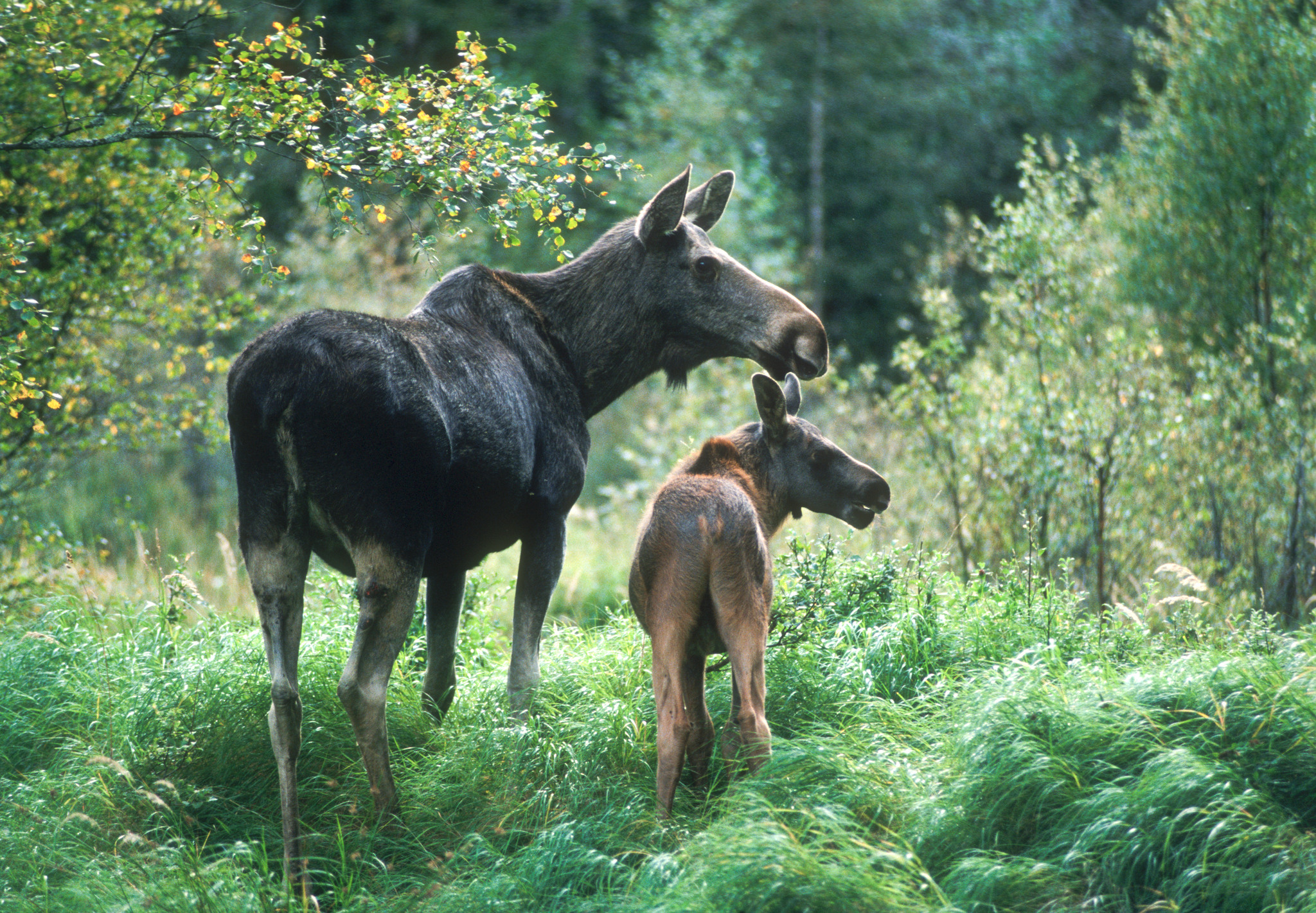 Tillgången på älgkalv är störst när jakten börjar, flexibel jakttid innebär därför ingen fördel.Foto: Kjell-Erik Moseid