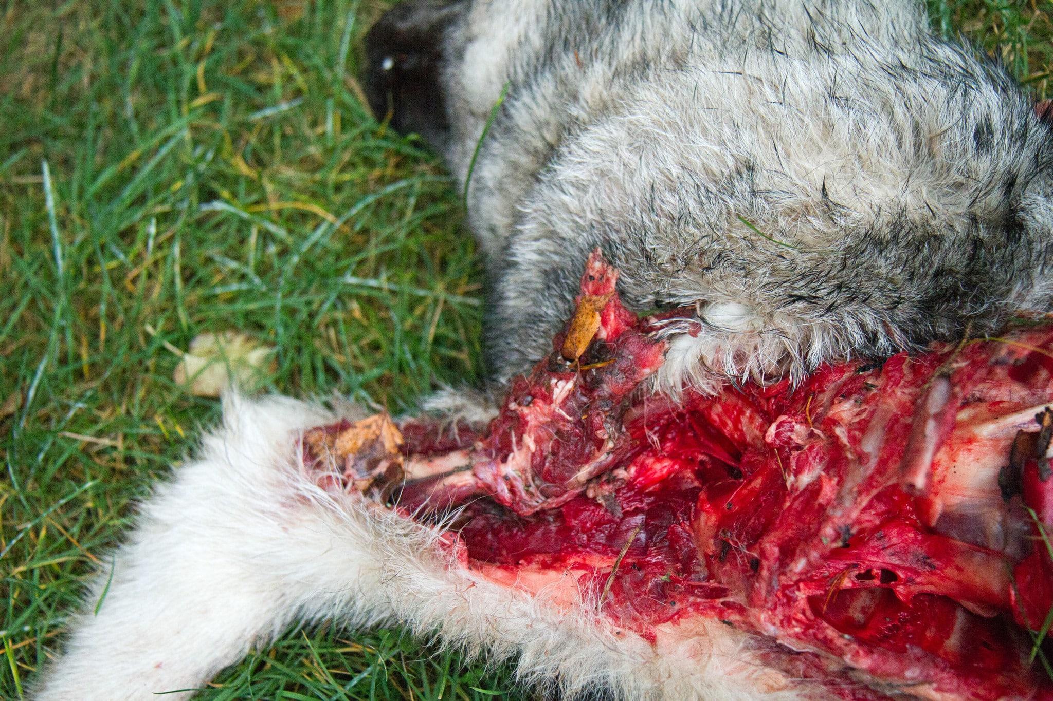 Vargdödad gråhund. Foto: Olle Olsson