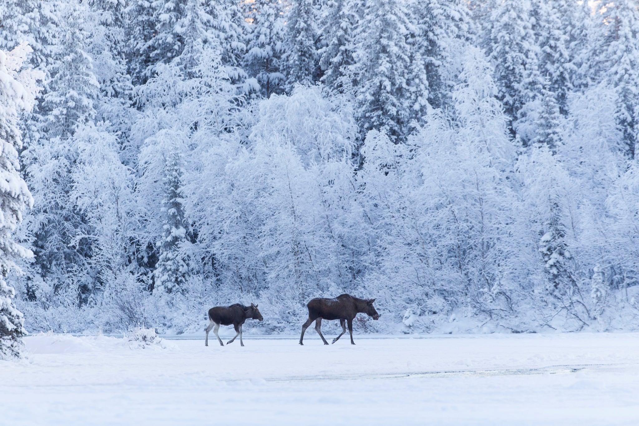 Länsstyrelsen i Västra Götaland fick bakläxa av Naturvårdsverket när man beslutade att vuxna älgar inte skulle få jagas i januari och februari. Foto: Kjell-Erik Moseid