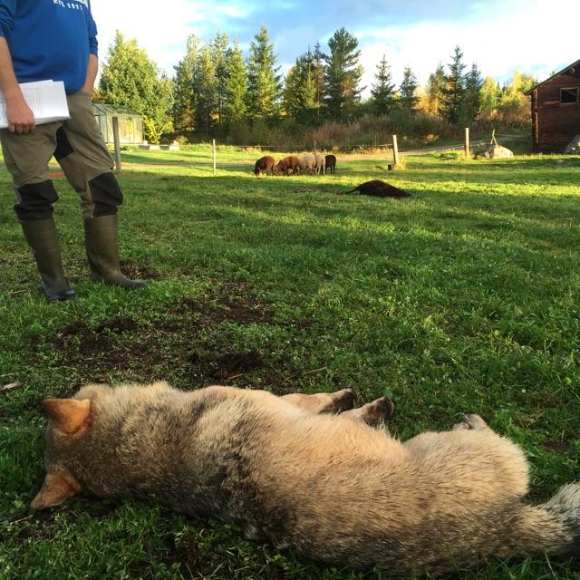 En varghane sköts i en fårhage natten till söndagen.