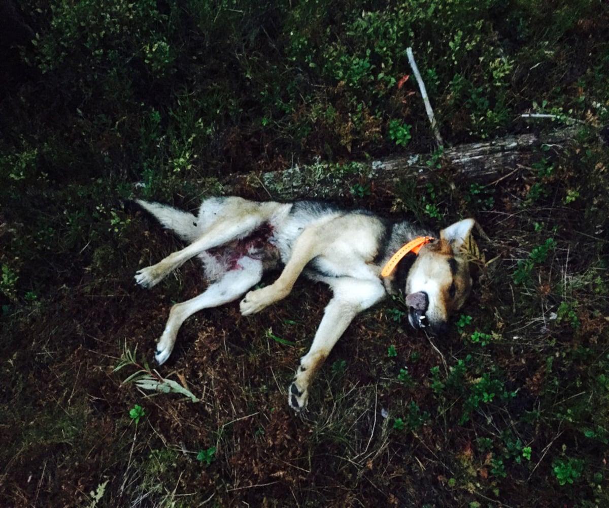 En blandrashund dödades av varg på tisdagskvällen. Foto: Privat