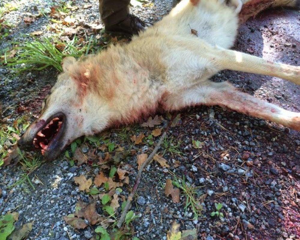 Vargen som på måndagen sköts i Sjundareviret avlivades enligt länsstyrelsen med stöd av paragraf 28 i jaktförordningen. Åklagare och polis misstänker trots det att det rör sig om ett grovt jaktbrott. Foto: Privat