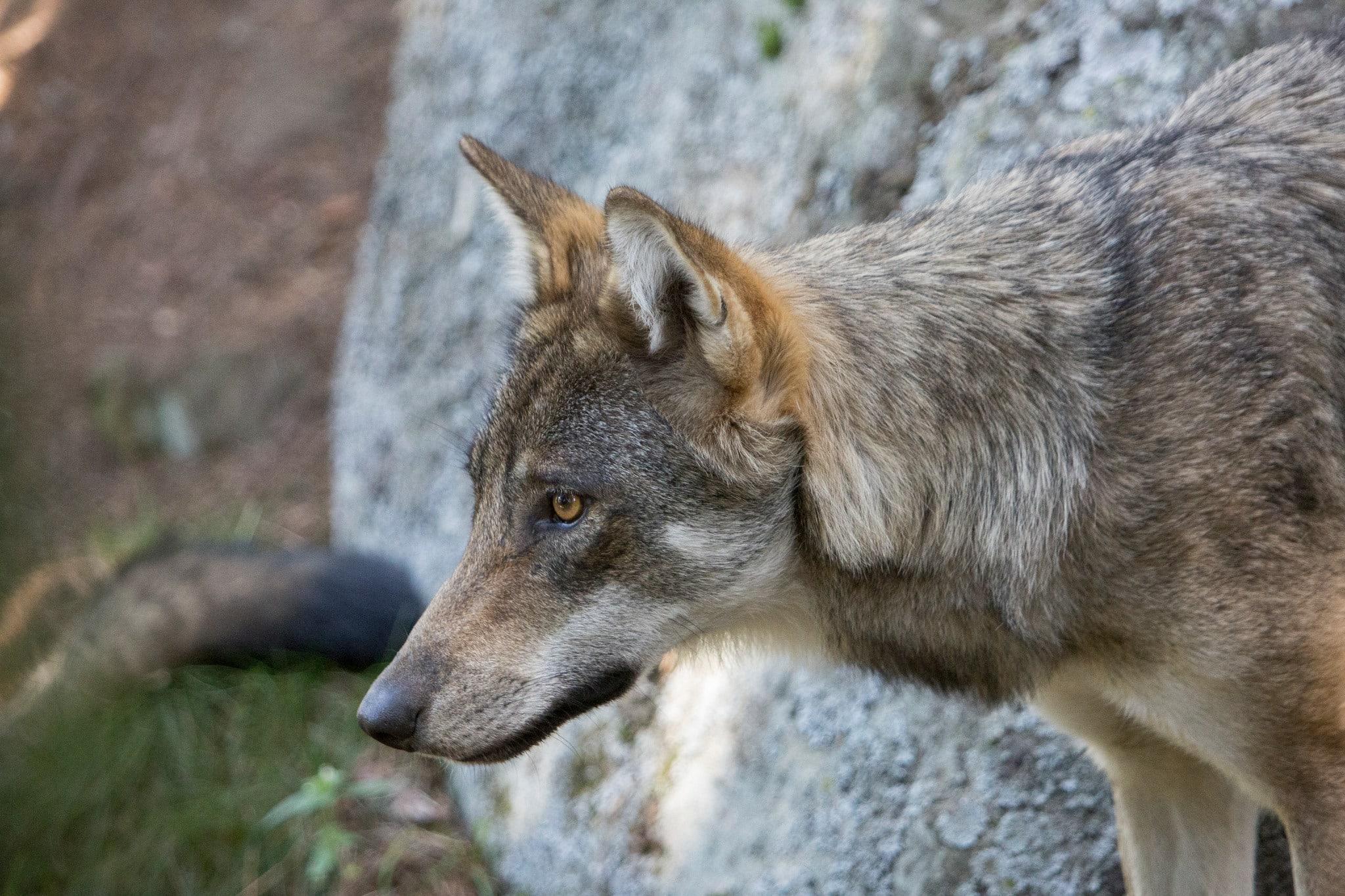 Länsstyrelsen i Gävleborg har fått in två ansökningar om skyddsjakt på den varg som nyligen dödade en sällskapshund utanför Järbo i Gästrikland. Foto (i hägn): Olle Olsson
