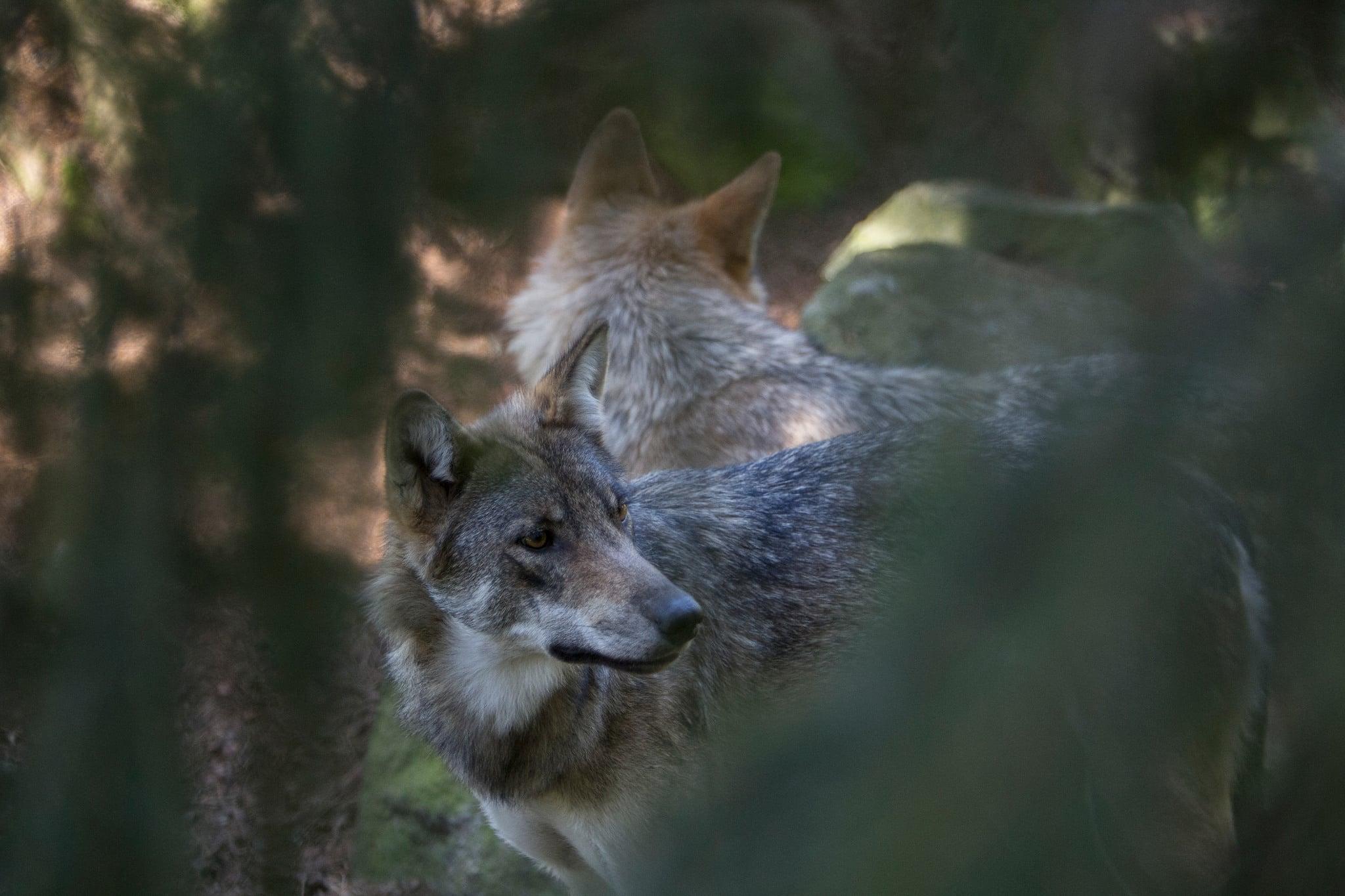 Två olika forskarteam anser att det krävs minst 300 vargar för att vargen ska ha gynnsam bevarandestatus i Sverige. Foto i hägn: Olle Olsson