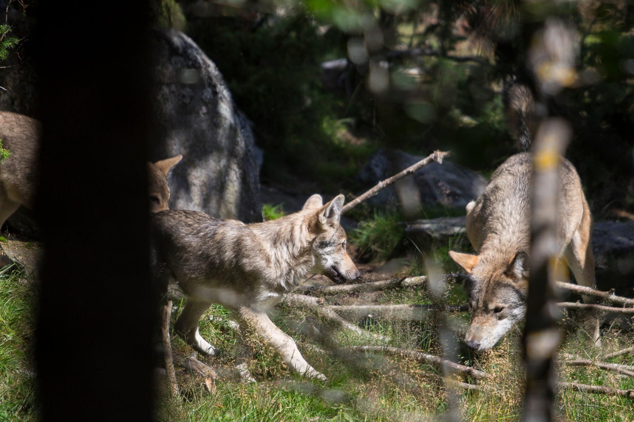 Enligt länsstyrelsen i Gävleborg har antalet vargar fördubblats i länet sedan mätningar gjordes 2013-2014. Arkivbild: Olle Olsson