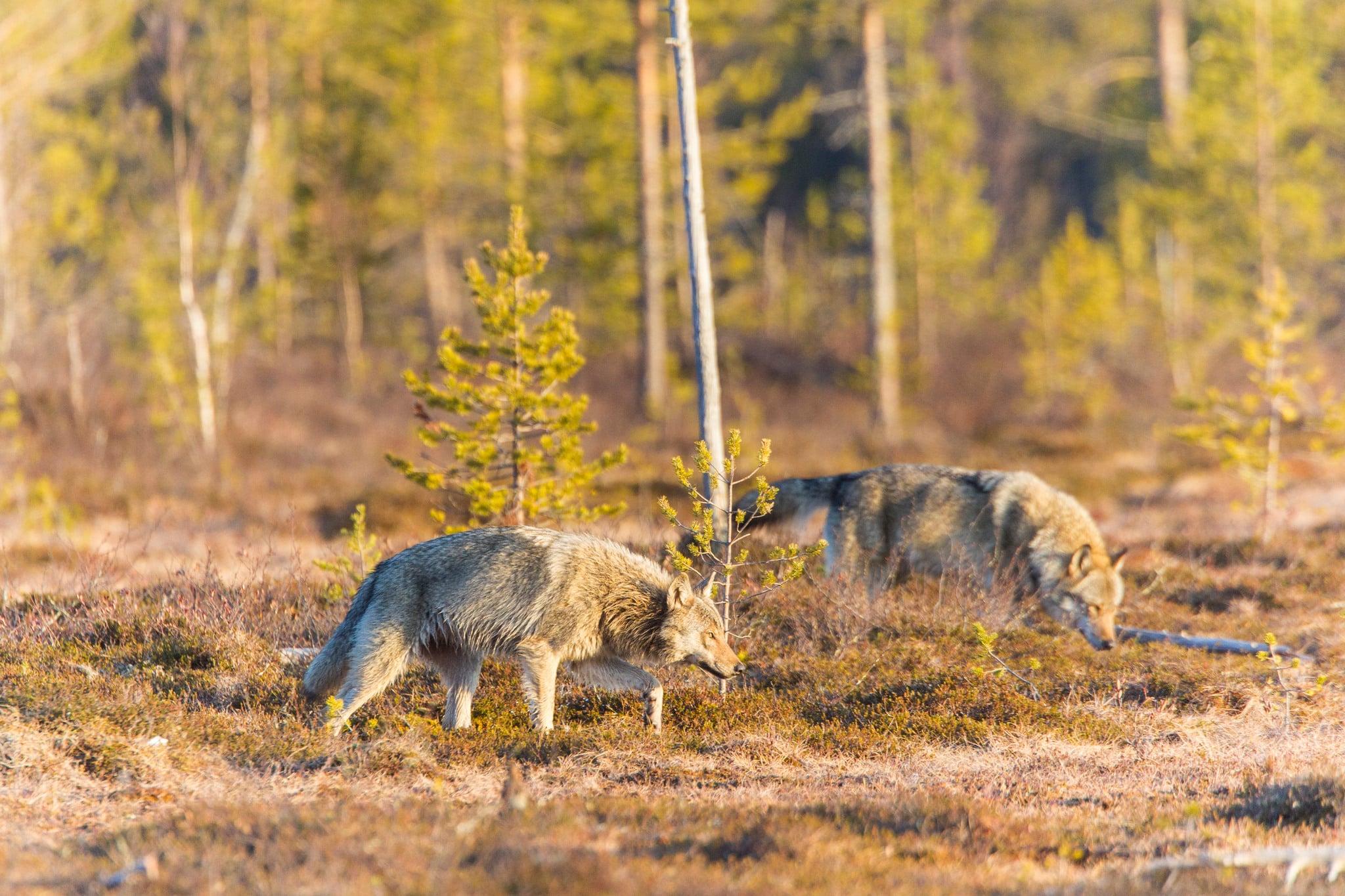 Tivedenvargarna har i genomsnitt spridit sig nästan dubbelt så långt jämfört med vargar födda i andra skandinaviska revir. Arkivbild: Kjell-Erik Moseid