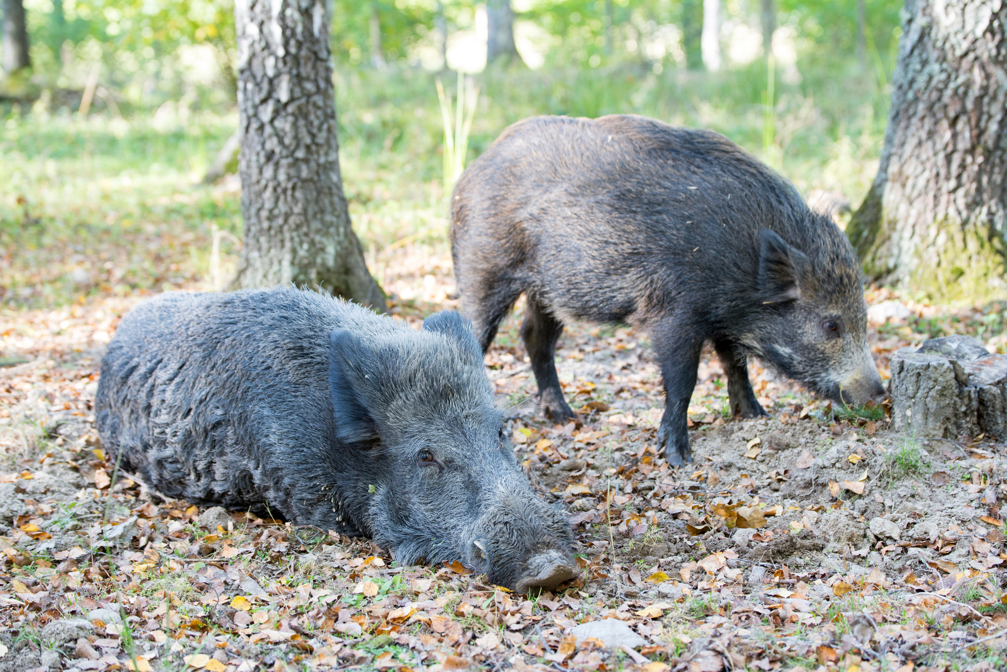 En ny fälla har godkänts för fångst av årsunge av vildsvin. Foto: Martin Källberg