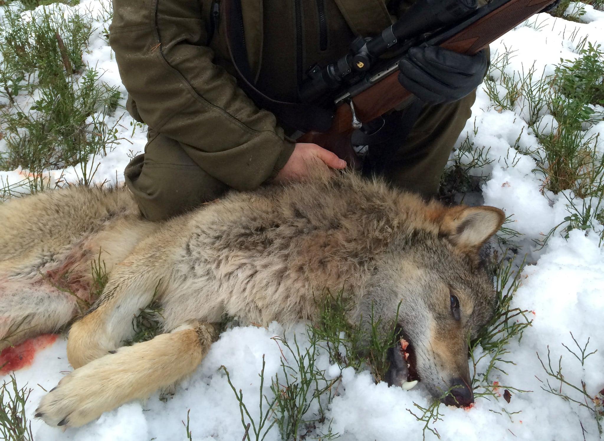 Den första vargen fälld i Värmland under förra årets jakt. Foto: Lennart Johannesson