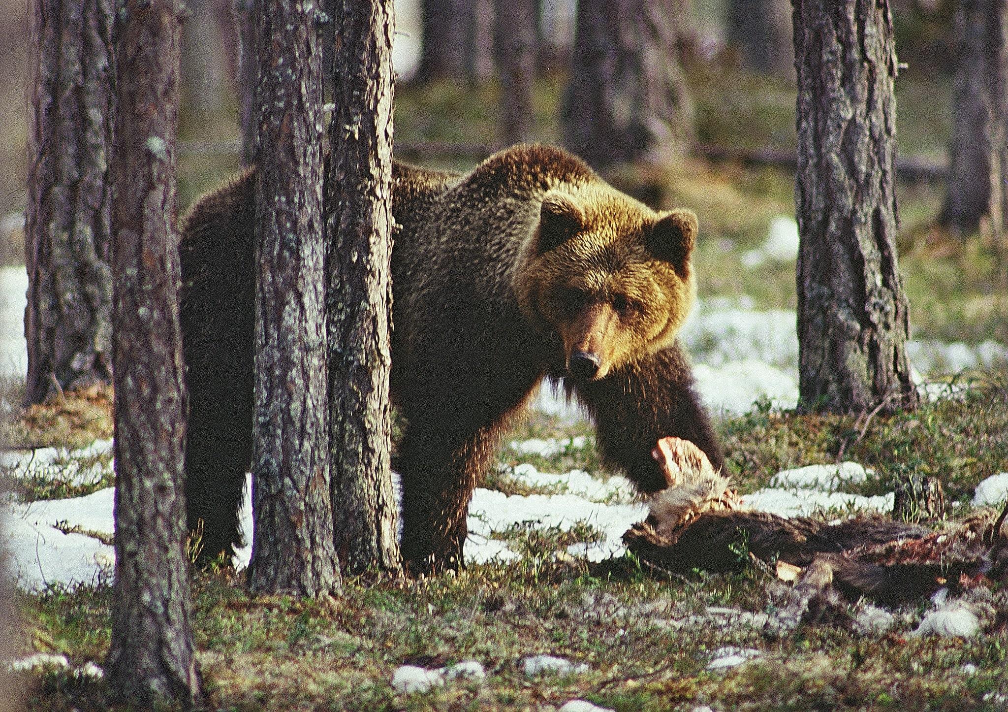 Björnjakten i Finland avslutades i oktober då 122 björnar fällts. Foto: Kenneth Johansson