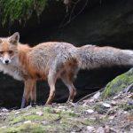 En räv i sitt rätta element, till skillnad från räven som fick räddas ur Dalslands kanal. Foto: Kenneth Johansson