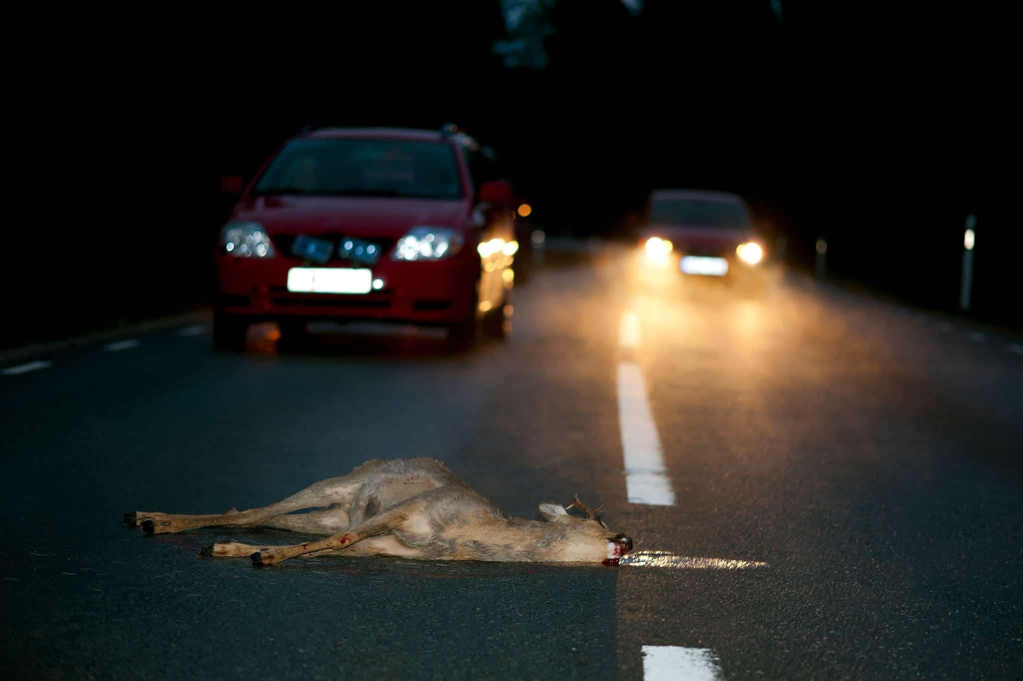 En skelleftebo körde på ett rådjur som han avlivade och tog med sig hem. Mannen är nu misstänkt för stöld, enligt norran.se. Foto: Kenneth Johansson