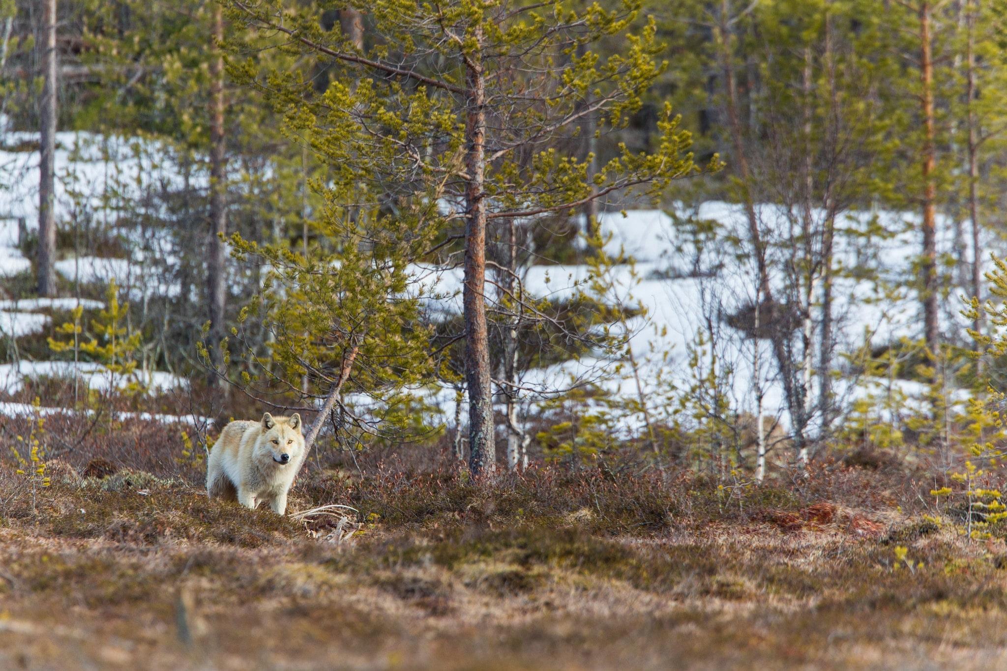 Fler och fler vargobservationer i Roslagen gör att länsstyrelsen nu misstänker att ett nytt vargrevir är på väg att bildas. Foto: Kjell-Erik Moseid