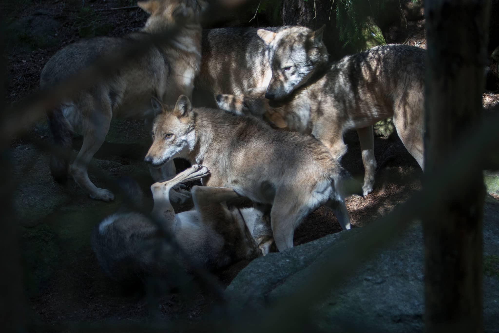 Naturvårdsverket har inte lyckats ta fram hur mycket en vargetablering kostar jägarna. Foto: Olle Olsson