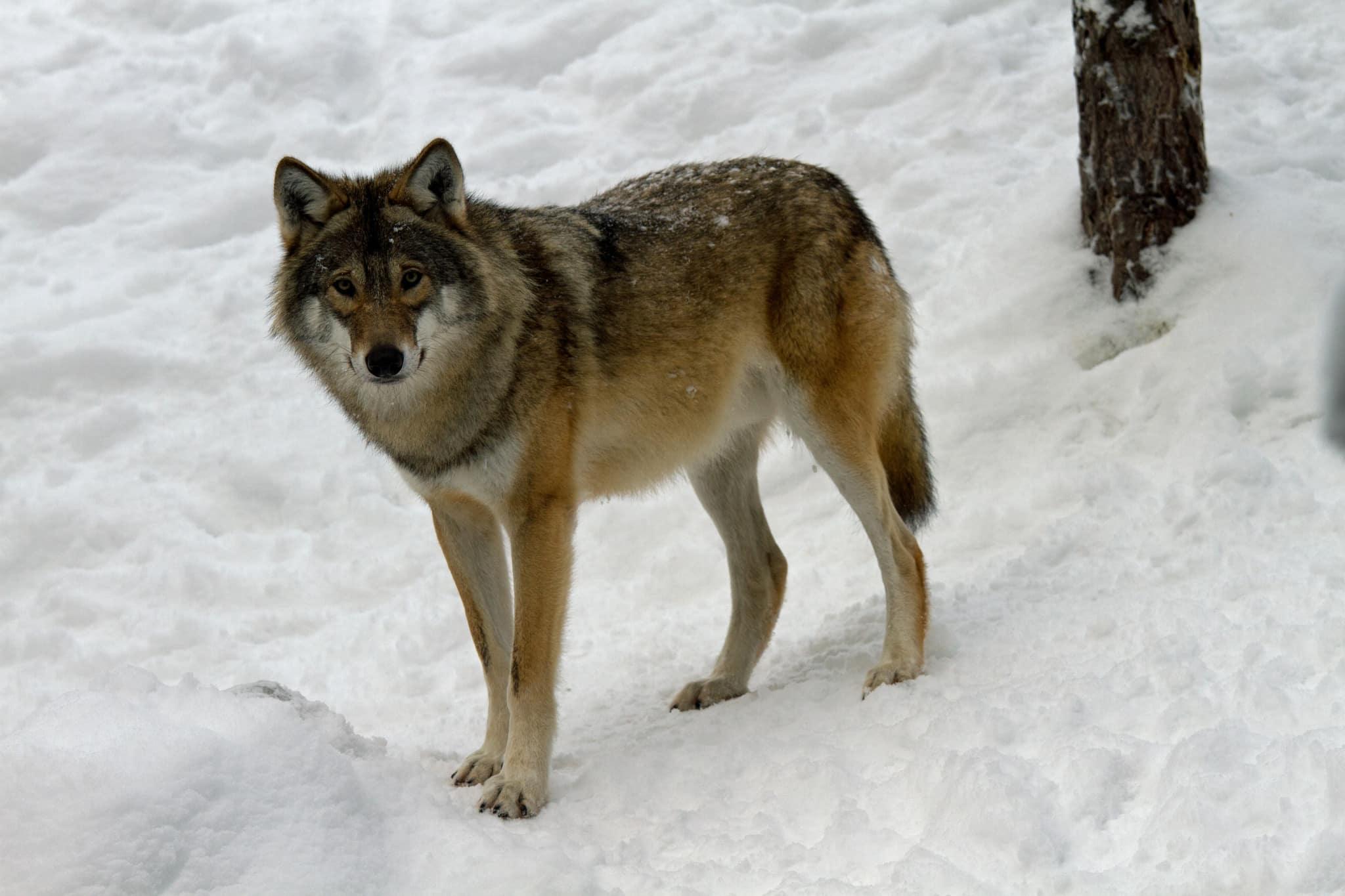 En från öst invandrad varg har upptäckts i Härjedalen. Den här vargen är dock fotograferad i hägn. Foto: Olle Olsson