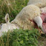 Skyddsjakten på varg tar för lång tid att besluta och är svår att verkställa, menar fåravelsförbundet. Bilden är från vargangreppen vid Molstaberg. Foto: Martin Källberg