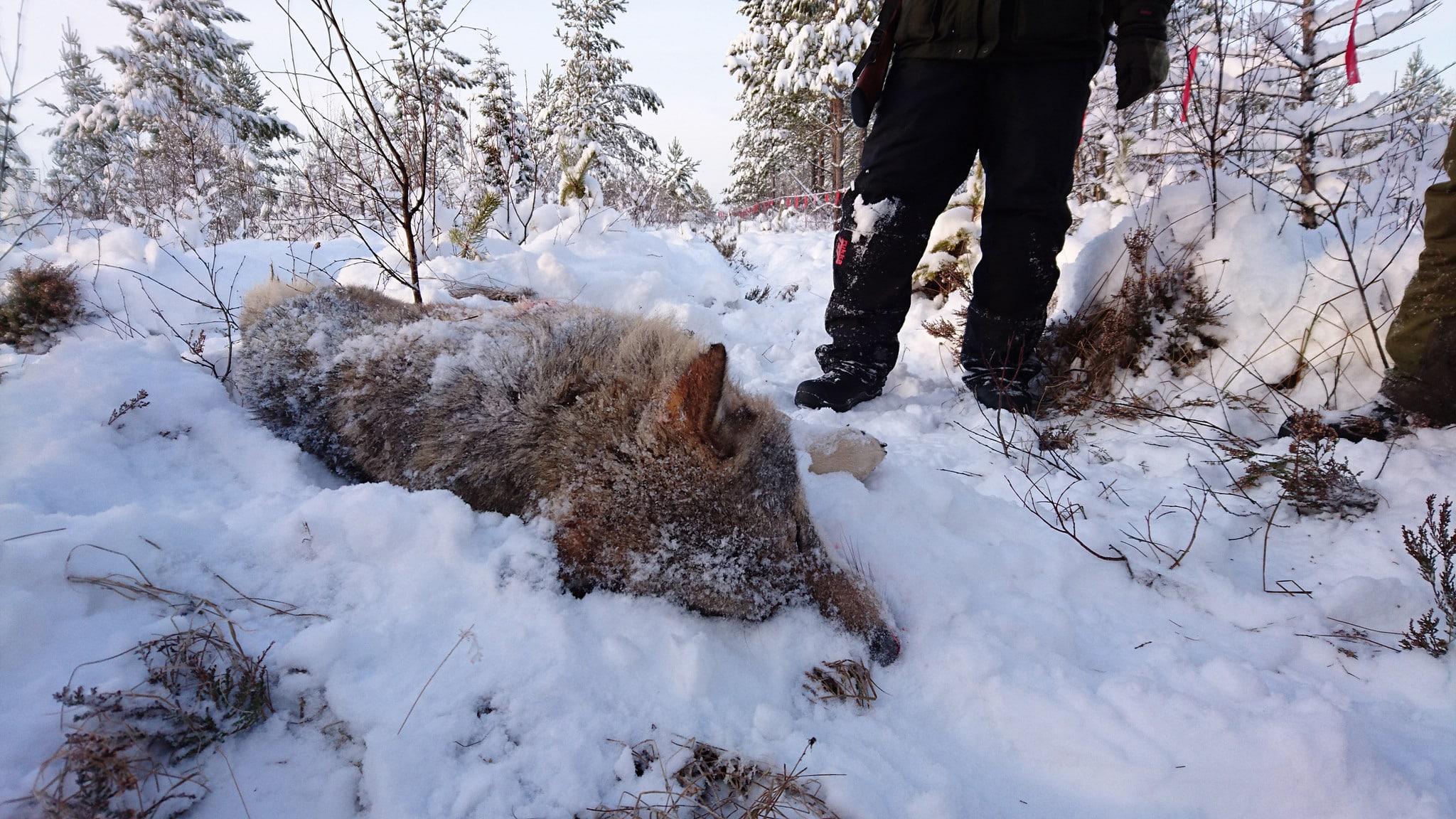 En av de vargar, en vuxen hane, som fällts i Lövsjöreviret. Foto: Lars-Henrik Andersson