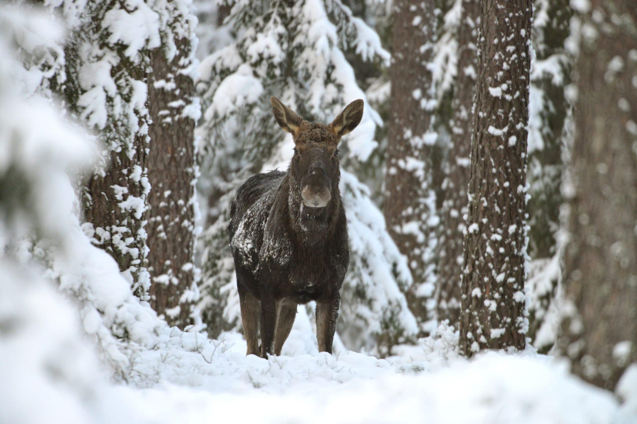 Stora rovdjur är bara en del av viltförvaltningsdelegationernas arbetsområden. Frågor som älg, hjort, säl och annat vilt är andra delar som behandlas av delegationerna. Foto: Kenneth Johansson