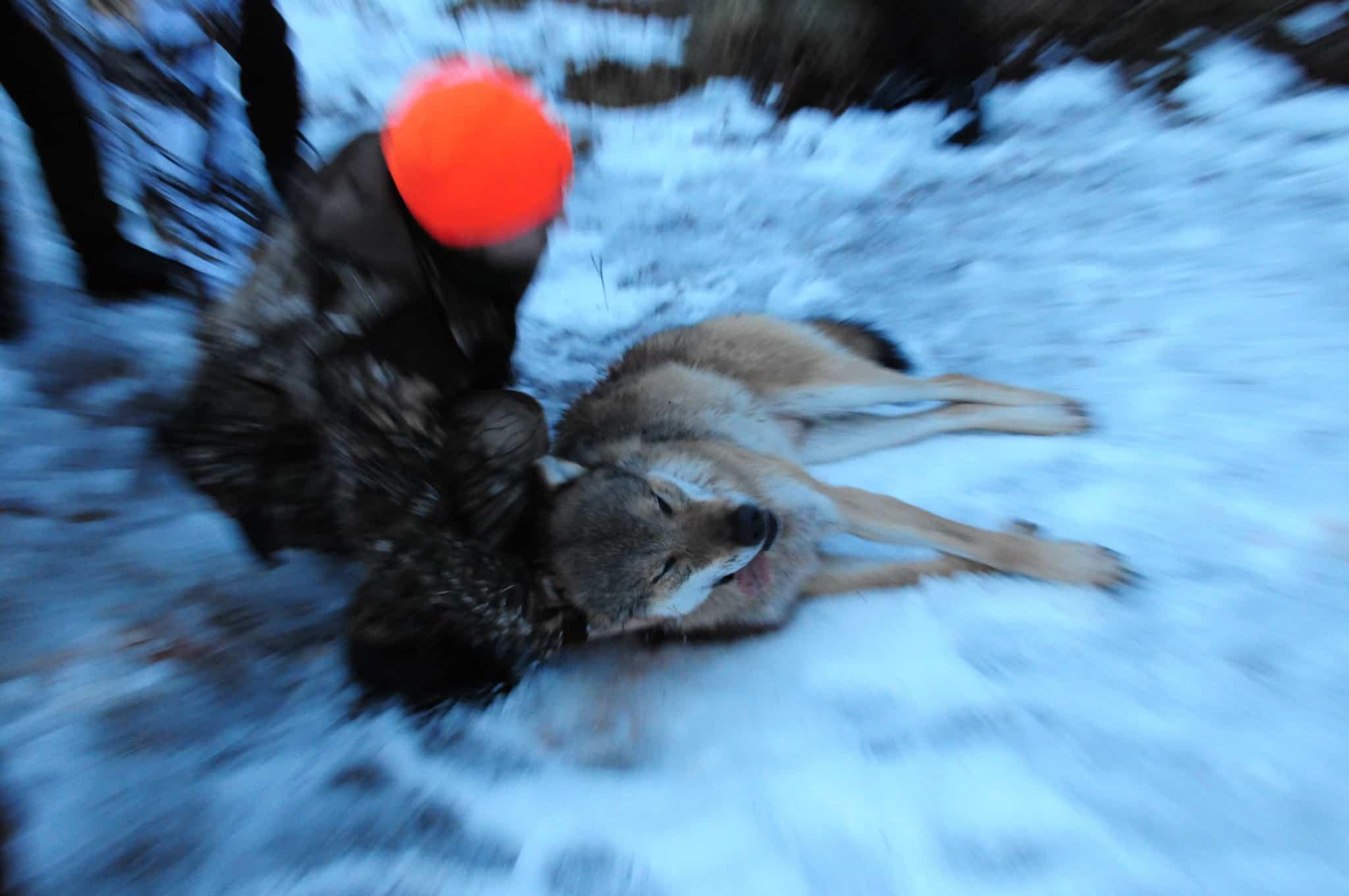 Nu väntar alla på besked från förvaltningsrätterna i Karlstad och Uppsala, om vargjakten kan komma igång innan jakttiden löper ut. Foto: Boo Westlund