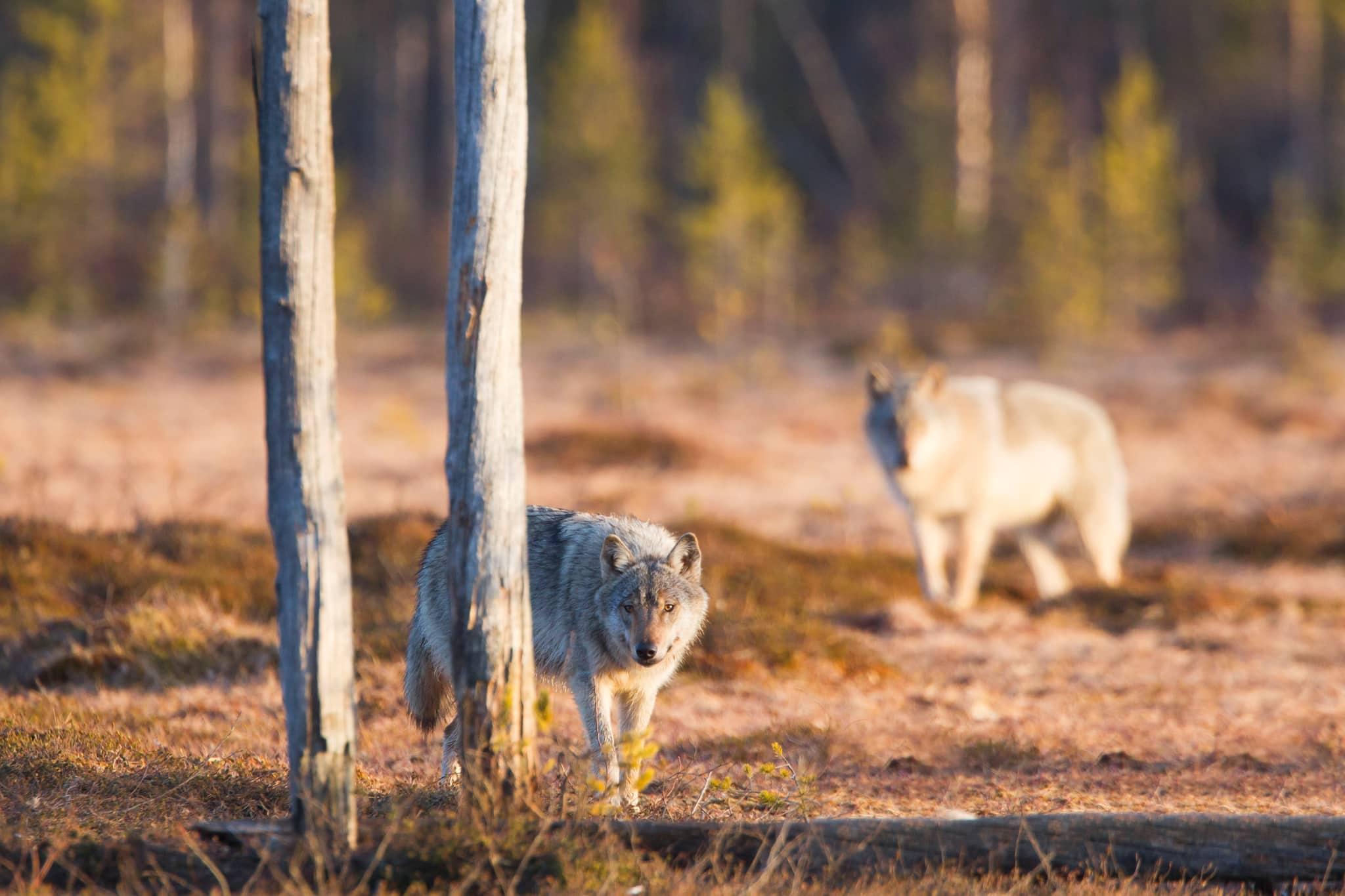 Uppskattningen av det finska vargbeståndet vintern 2015–2016 färdigställs i februari. Foto: Kjell-Erik Moseid