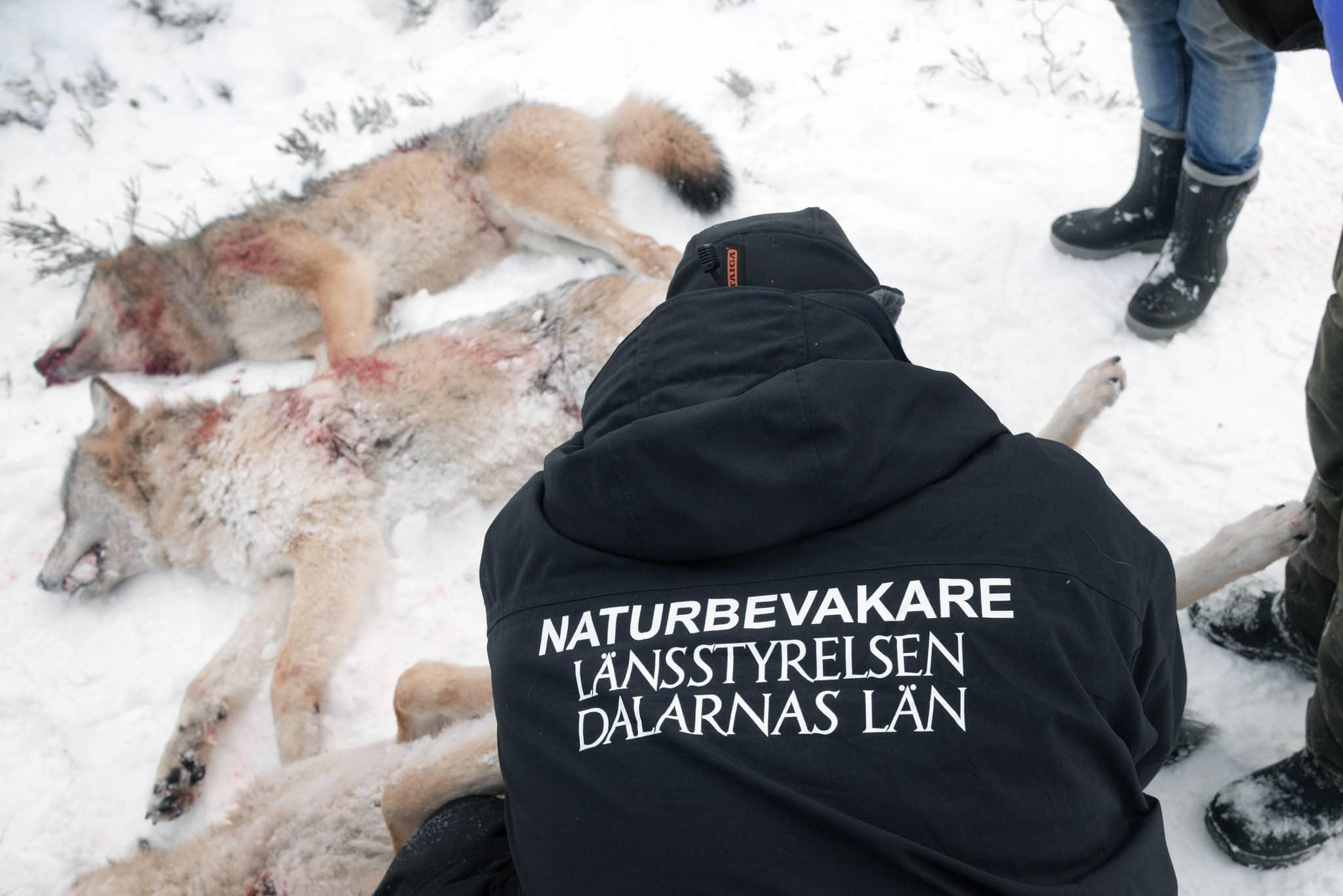 Länsstyrelsens naturbevakare tar prover på tre fällda vargar i Lövsjöreviret. Foto: Lars-Henrik Andersson