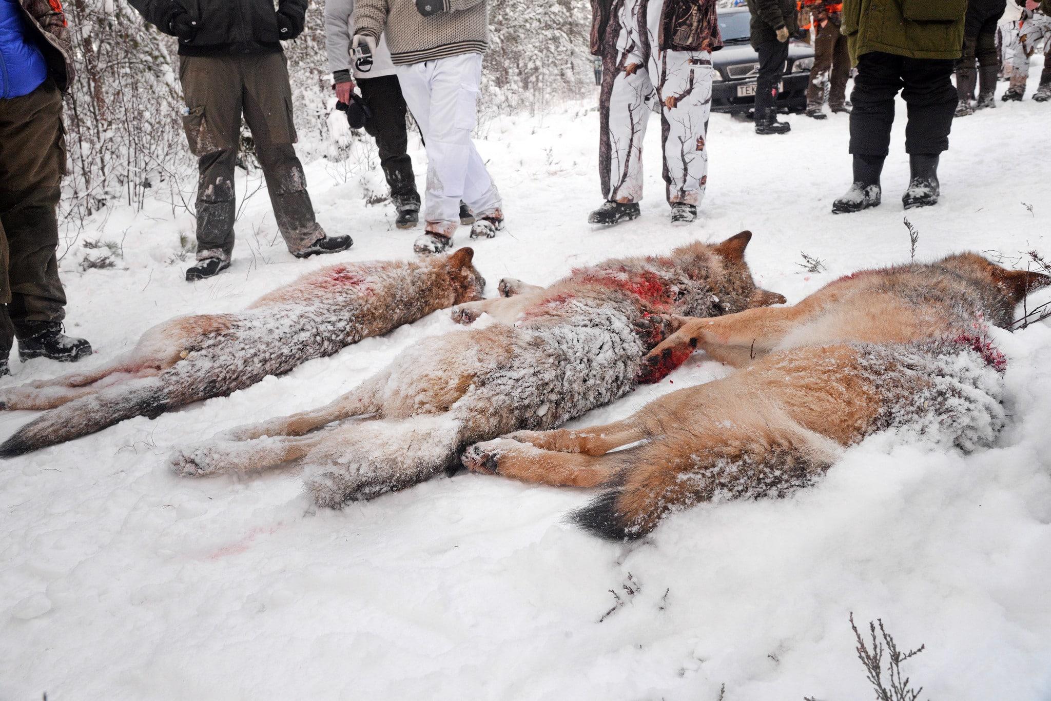Eftersom vargarna i Dalarna och Gävleborg redan är skjutna prövar inte Förvaltningsrätten i Falun sakfrågan utan avskriver målet. Foto: Lars-Henrik Andersson