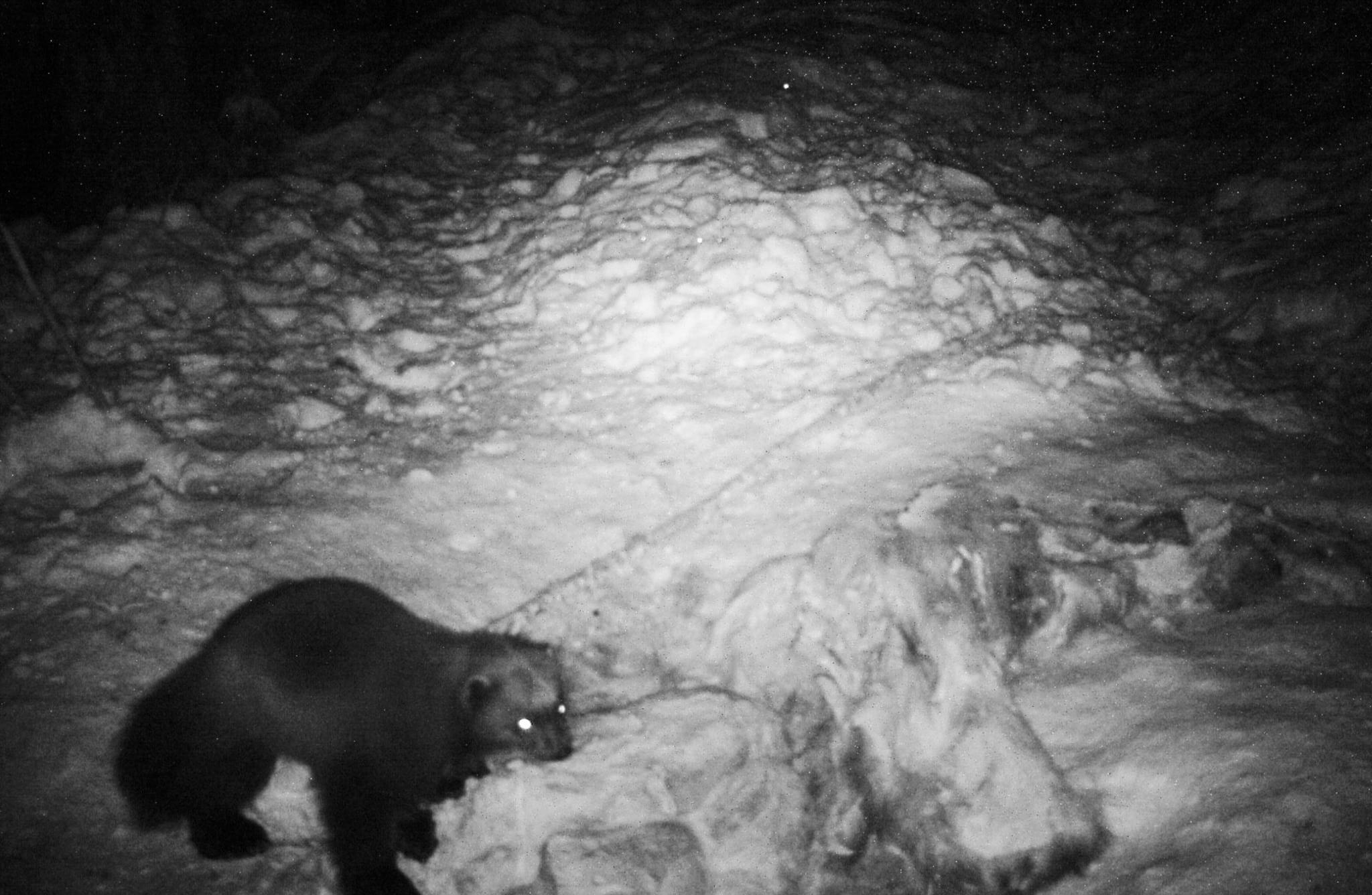 Lockande kadaver. Järven har återkommit flera kvällar i rad för att äta av älgkadavret. Foto: Länsstyrelsen i Värmland