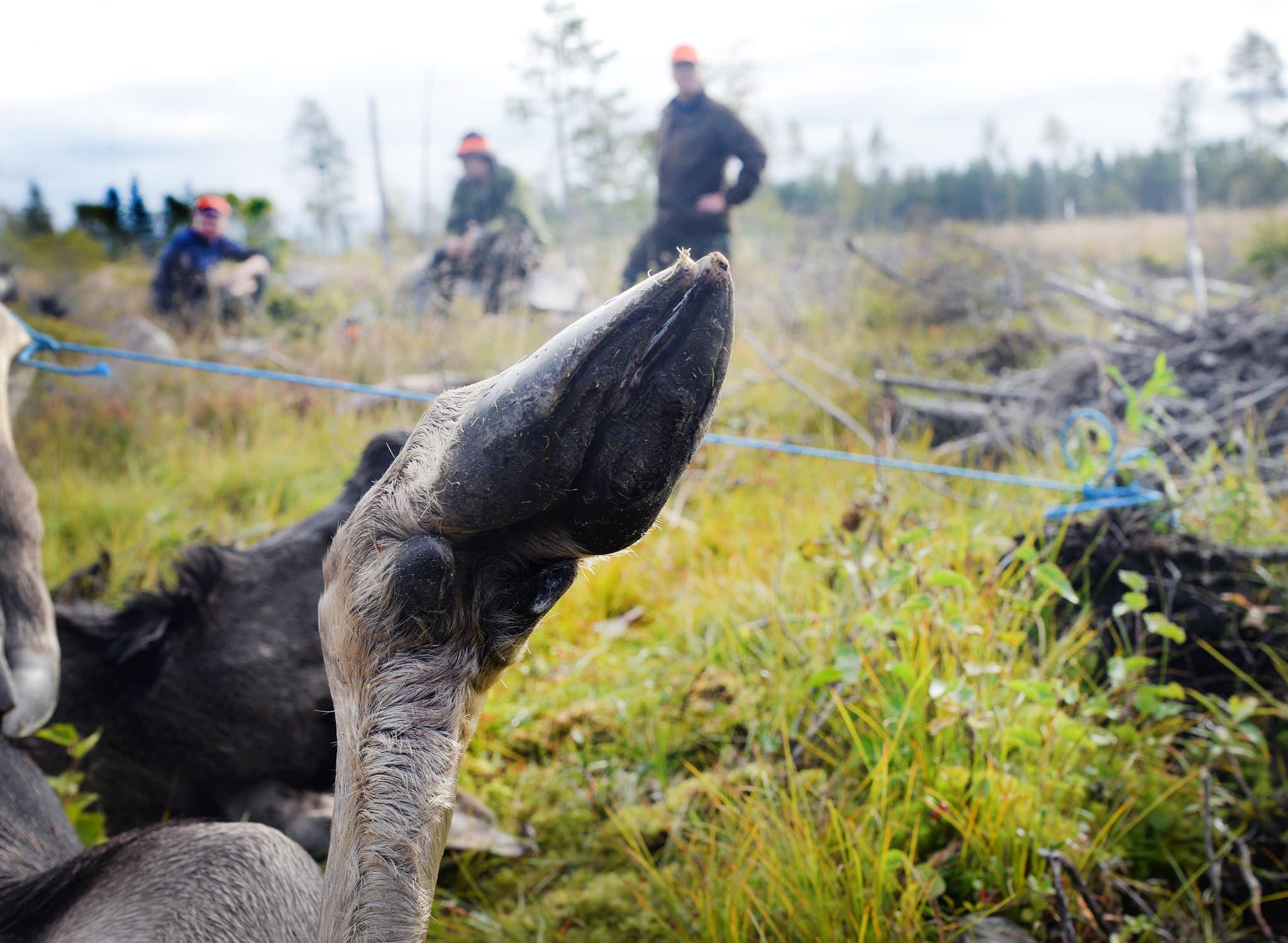 Det diskuteras nu på allvar att ställa in älgjakten i stora delar av Värmland på grund av den stora vargstammen. Foto: Lars-Henrik Andersson