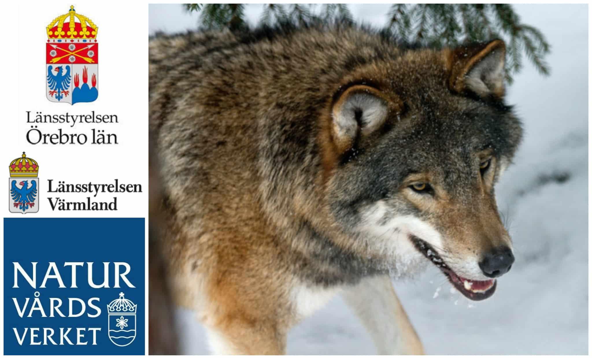 Naturvårdsverket kan godkänna undantag från jakttiderna på varg.